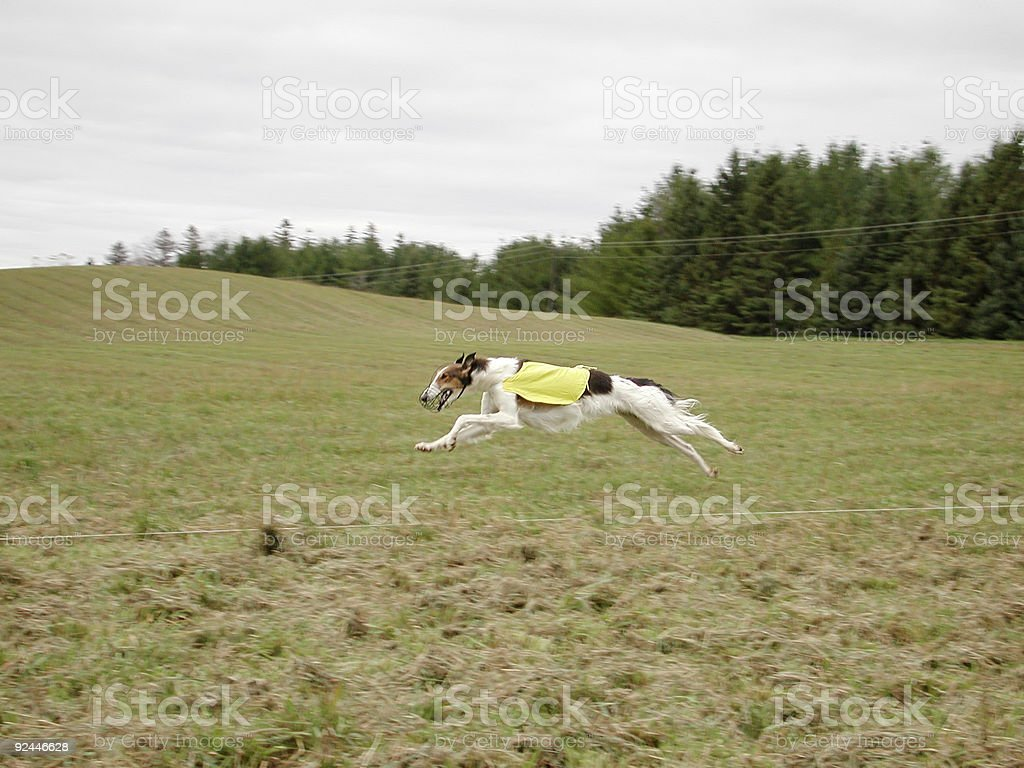 Lure Coursing royalty-free stock photo