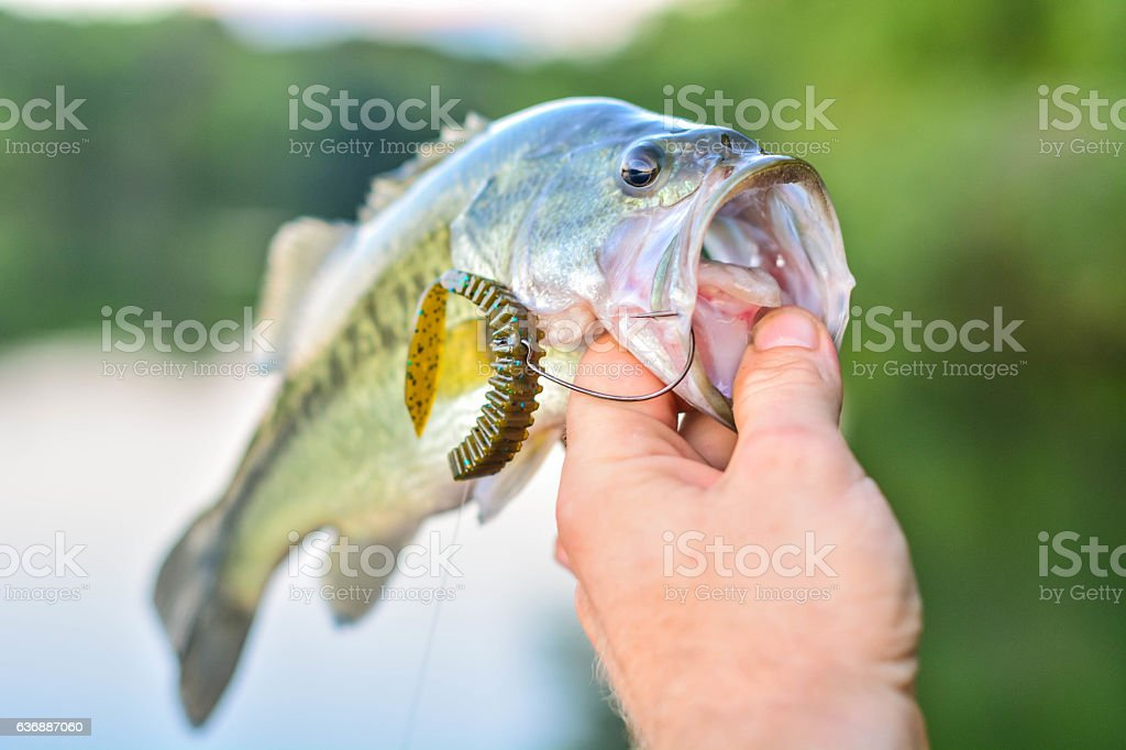 Lure in bass mouth stock photo