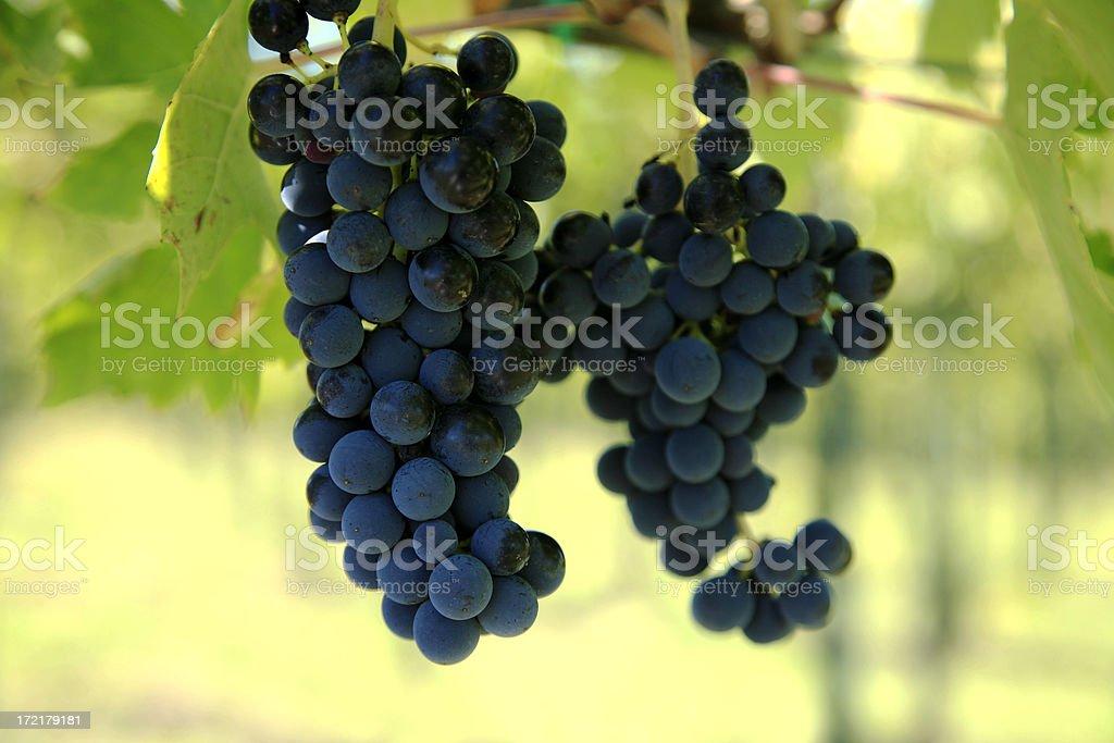 Luscious Chianti Grapes royalty-free stock photo