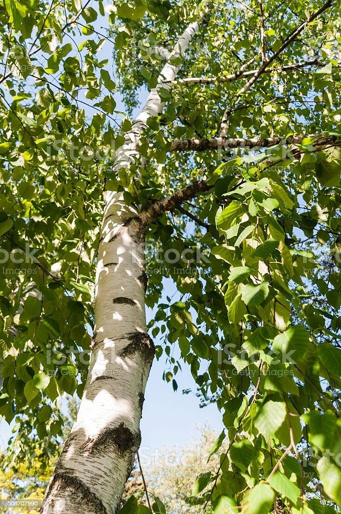 Lush Birch Tree in Summer stock photo