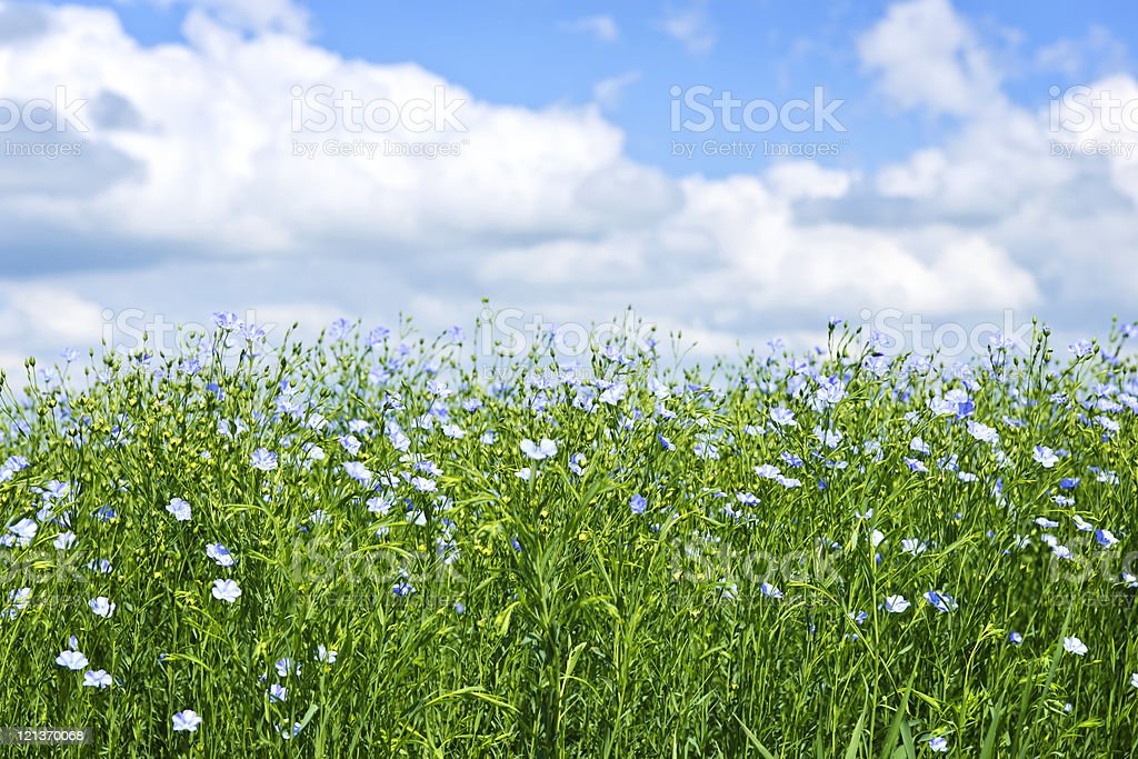 Lush blooming flax field under the sun stock photo