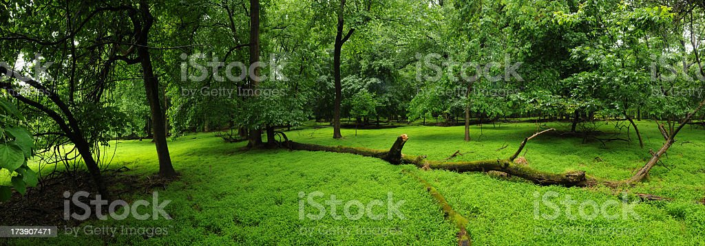 Lush clearing in forest royalty-free stock photo