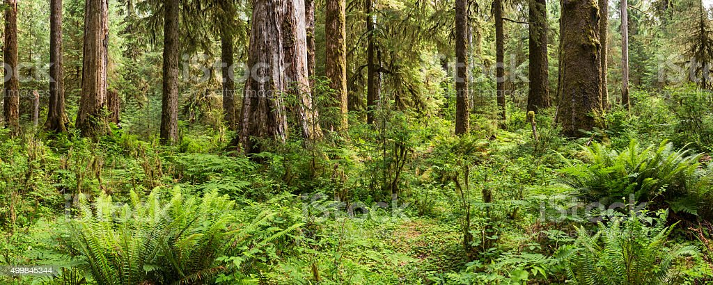 Lush Ferns and Trees in Hoh Rainforest stock photo