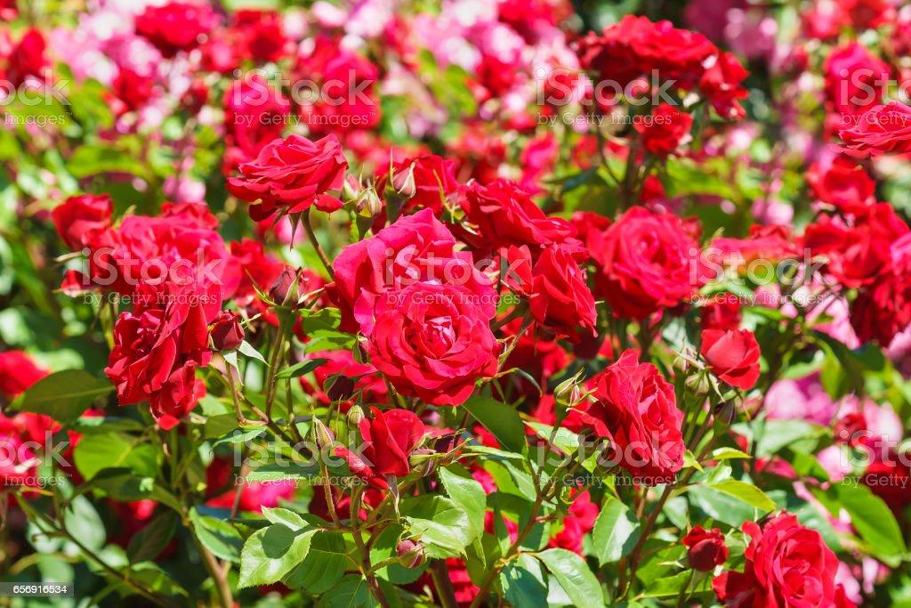 Lush flowering rose varieties Niccolo Paganini. Meilland France, 1991. stock photo