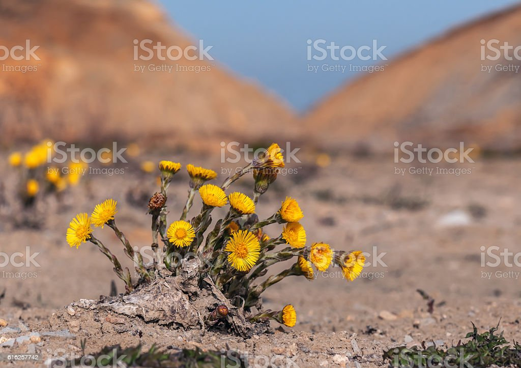 lush foalfoot bush stock photo