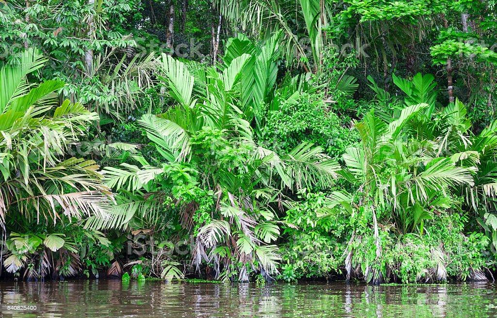 Lush foliage in Costa Rica Rainforest stock photo