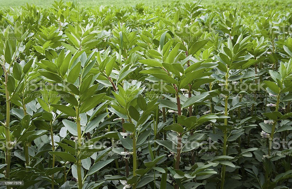 lush foliage in field of broad beans royalty-free stock photo