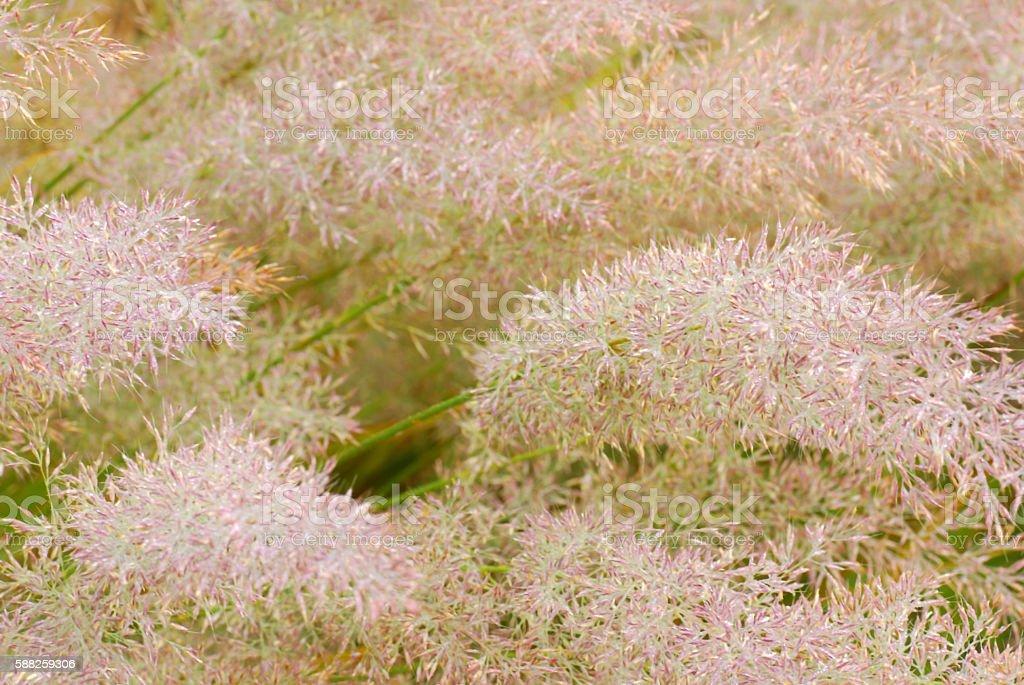 Lush foliage of sparkling Pink Fountain grass. stock photo