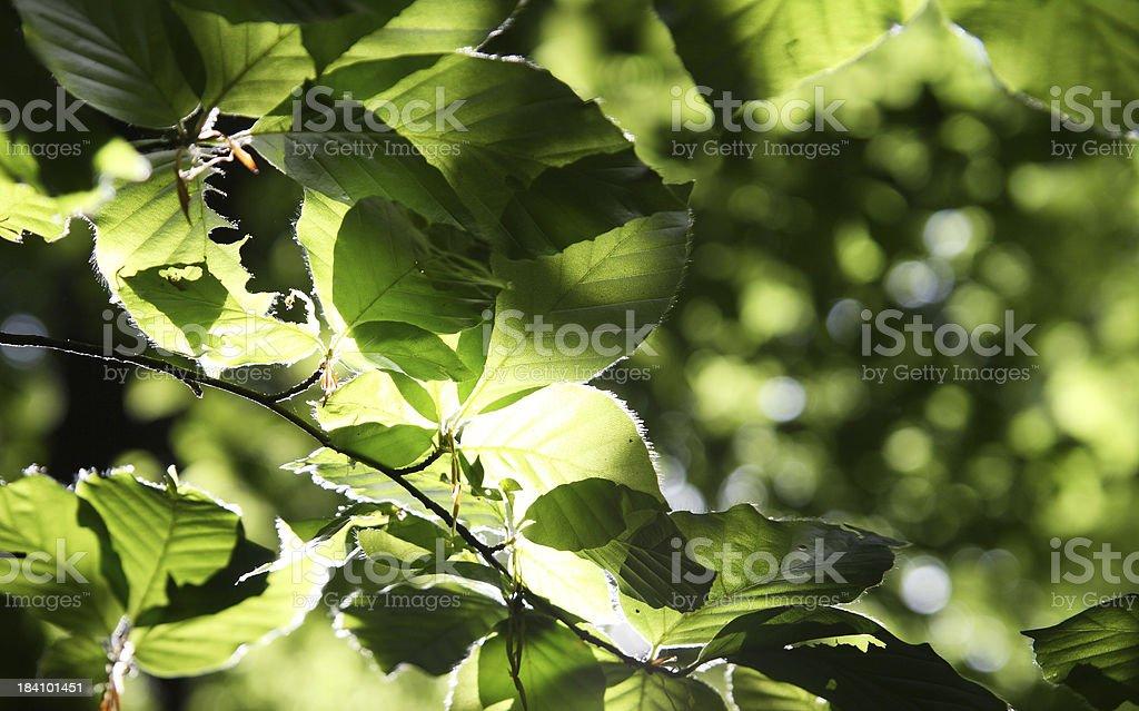 Lush foliage on beech tree backlit royalty-free stock photo