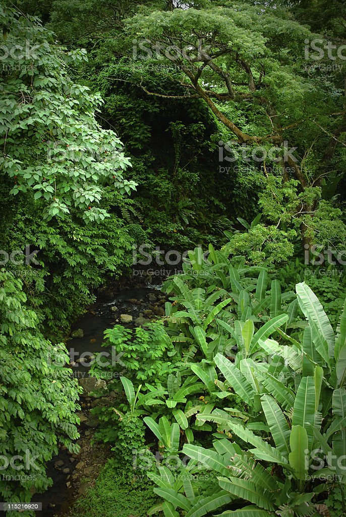 Lush Forest (Rainforest Jungle) stock photo