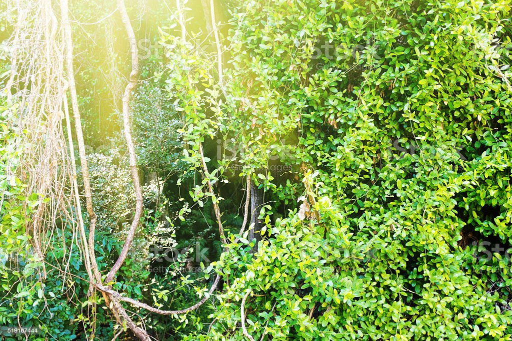 Lush forest vegetation with lianas, trees, and bushes stock photo