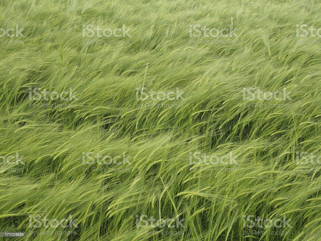 Lush Green Barley Background royalty-free stock photo