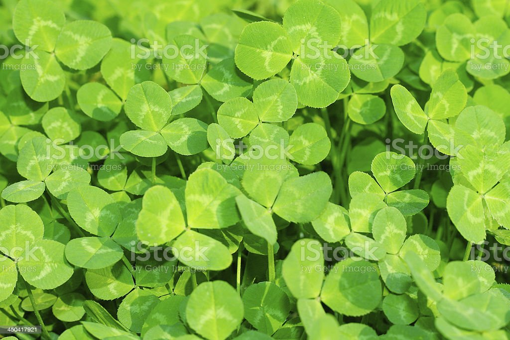 Lush green carpet of clover stock photo