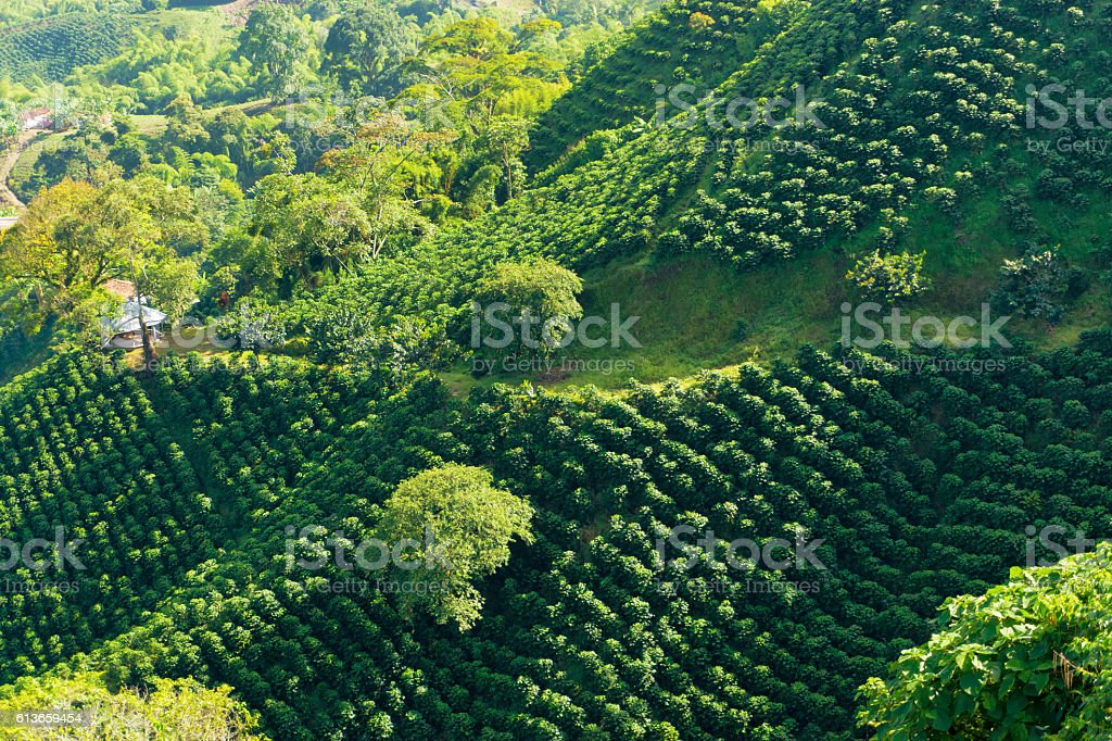 Lush Green Coffee Landscape stock photo