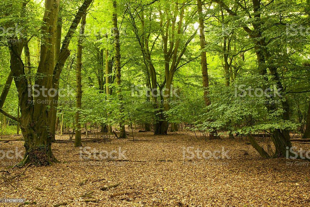 Lush green English wood royalty-free stock photo