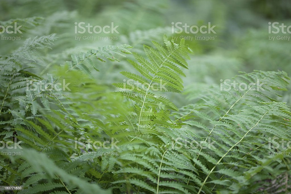 Lush Green Fern Fronds in a Damp Shaded Forest stock photo