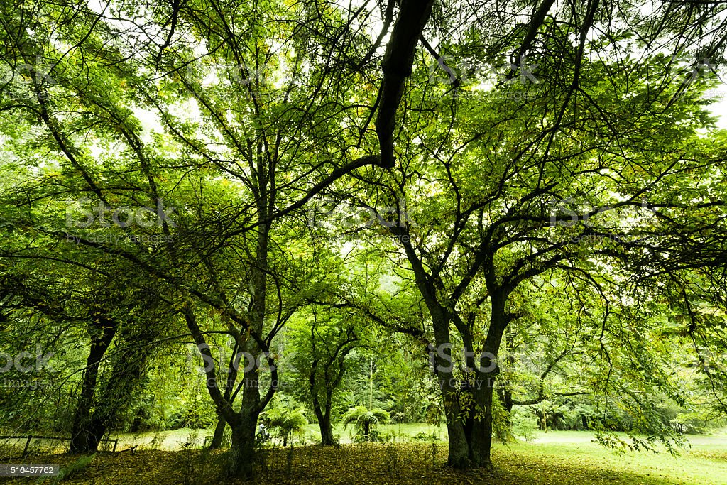 Lush Green Forest Canopy with a Maze of Branches stock photo