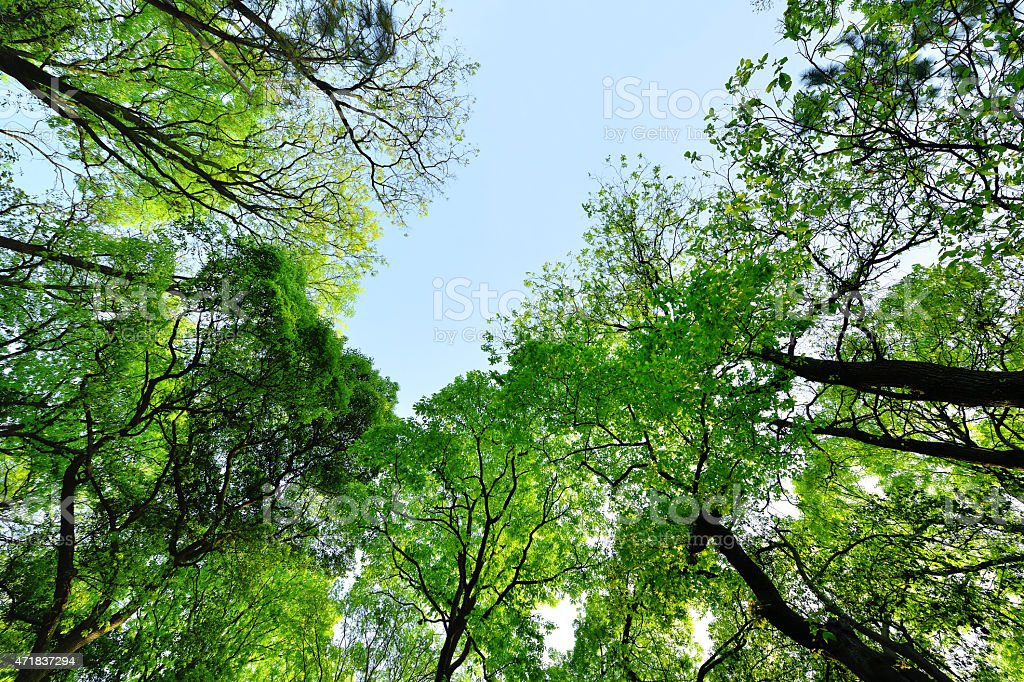 Lush green forest looking upward stock photo