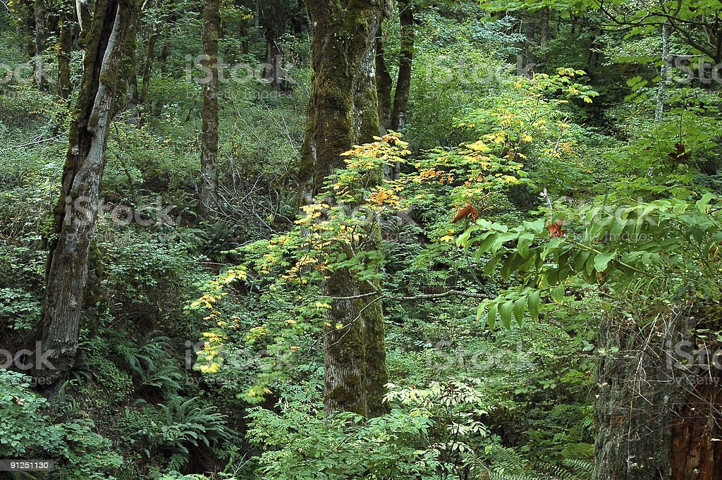 Lush Green Forest royalty-free stock photo
