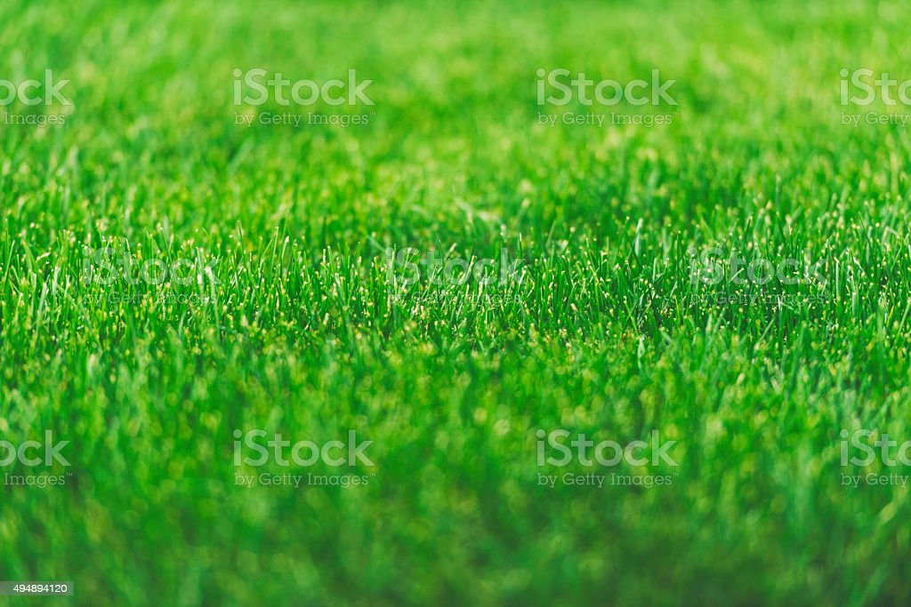 Lush green grass growing in sunlight. Green background stock photo