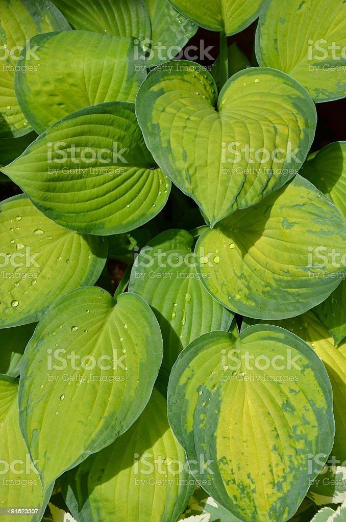 Lush green hosta plant leaves stock photo