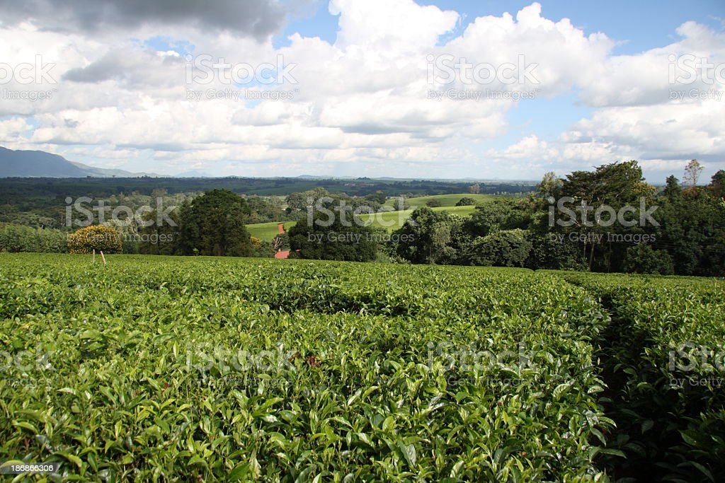 Lush, green tea bushes on a Tea plantation in Malawi royalty-free stock photo