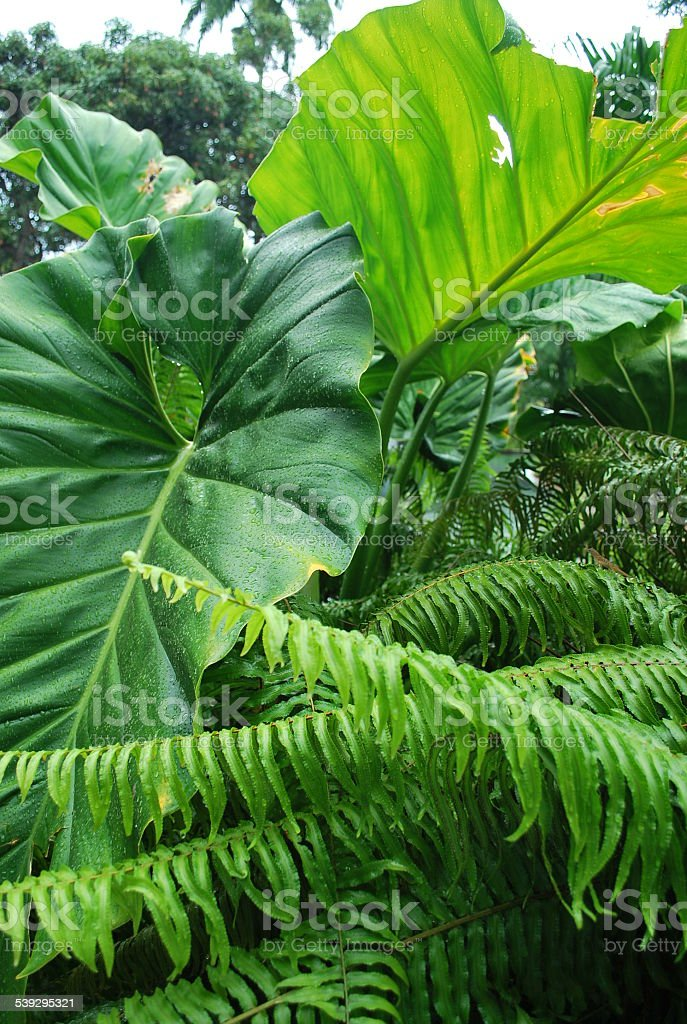 Lush Green Tropical Foliage. stock photo