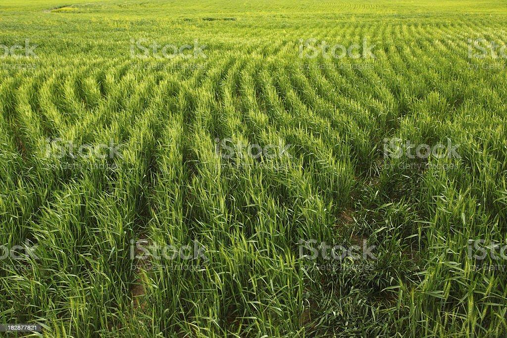 Lush green wheat field royalty-free stock photo