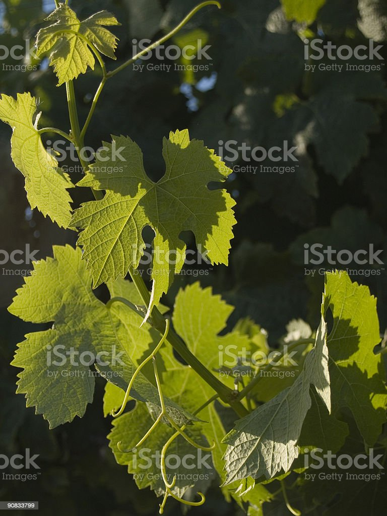 Lush Green Wine Leaves in the Sun stock photo