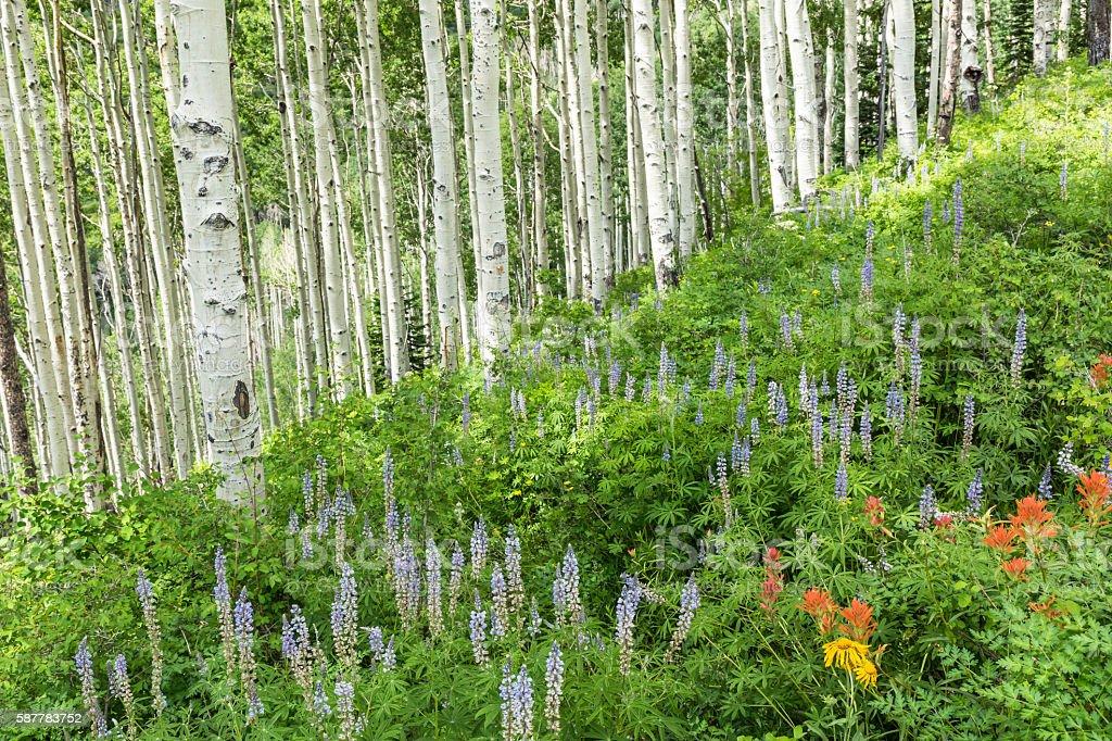 Lush Hillside of Aspens and Lupine stock photo