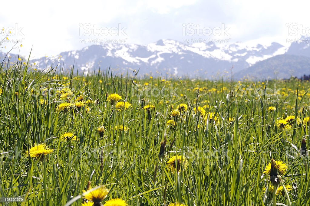 Lush Meadow in the Alps stock photo