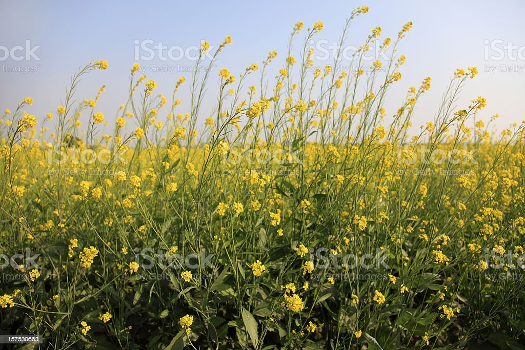 Lush mustard crop with blue sky stock photo