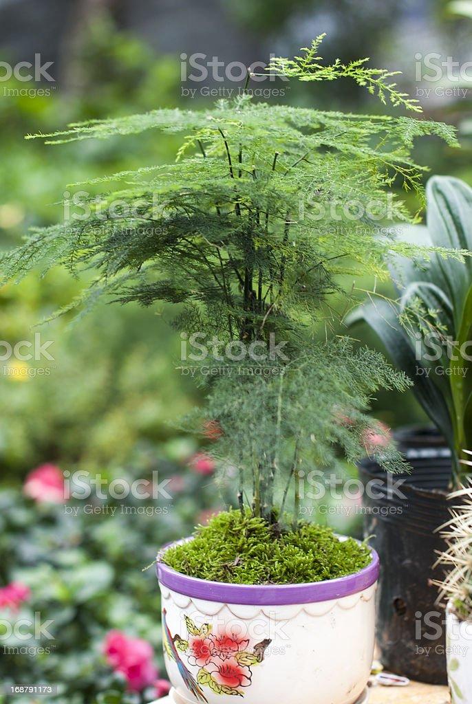 Lush outdoor bonsai royalty-free stock photo
