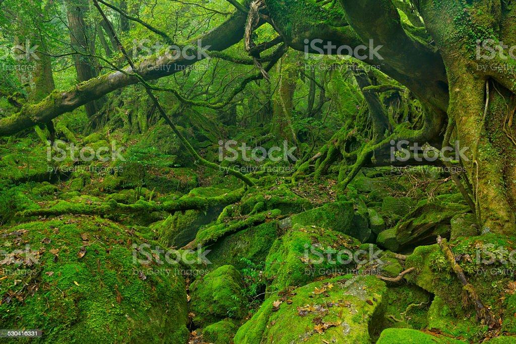 Lush rainforest along Shiratani Unsuikyo trail on Yakushima Island, Japan stock photo