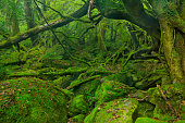 Lush rainforest along Shiratani Unsuikyo trail on Yakushima Island, Japan