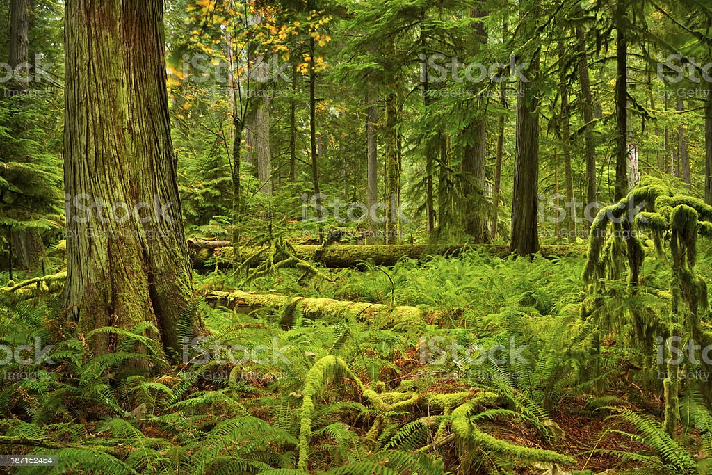 Lush rainforest in Cathedral Grove, Vancouver Island, Canada stock photo