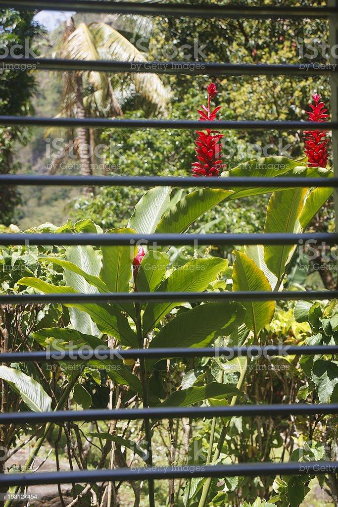 Lush Red Flowers Through Window Slats royalty-free stock photo