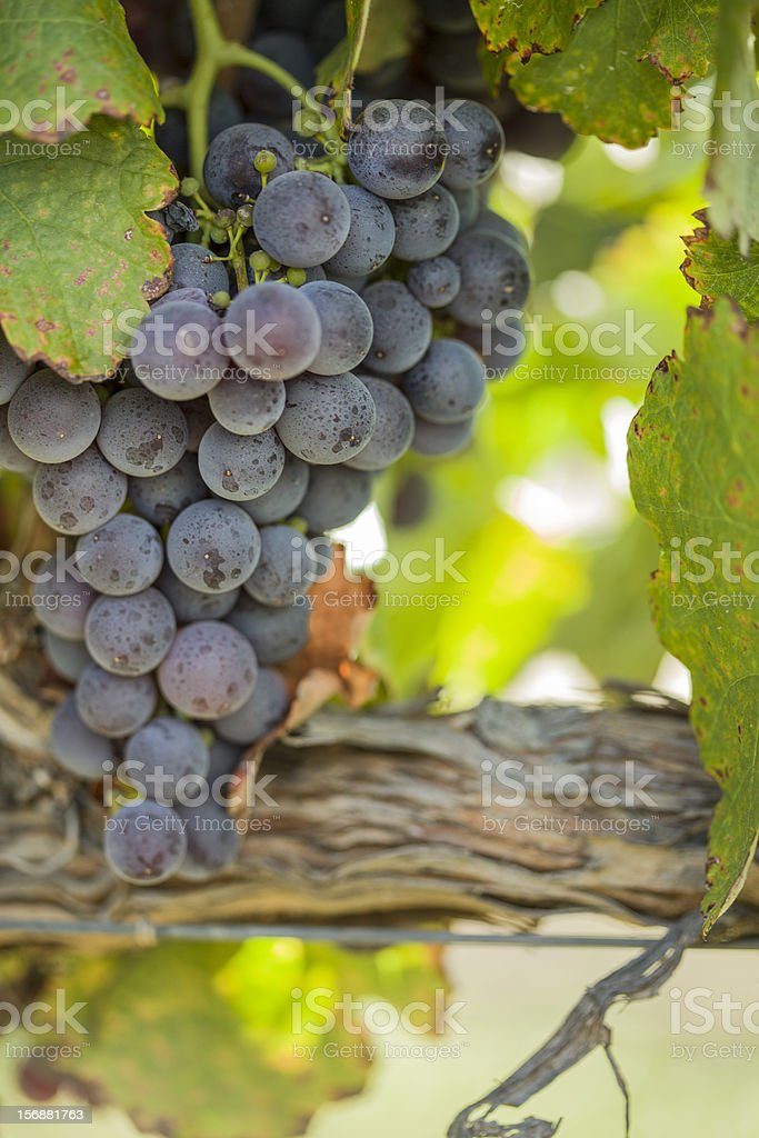 Lush, Ripe Wine Grapes on the Vine royalty-free stock photo