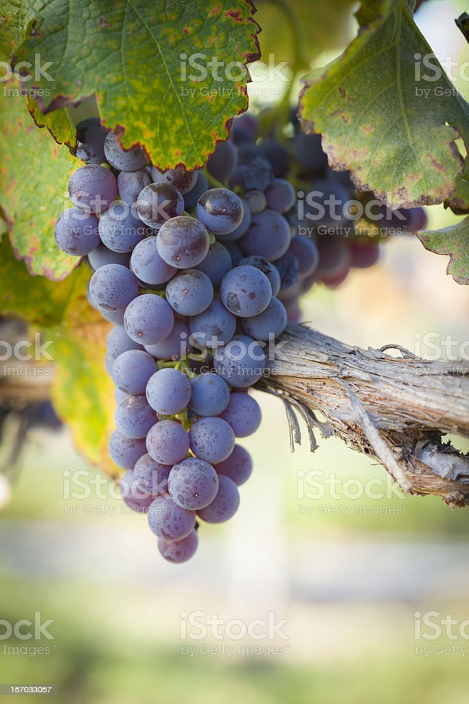 Lush, Ripe Wine Grapes on the Vine stock photo