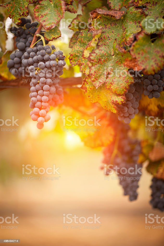 Lush, Ripe Wine Grapes on the Vine stock photo