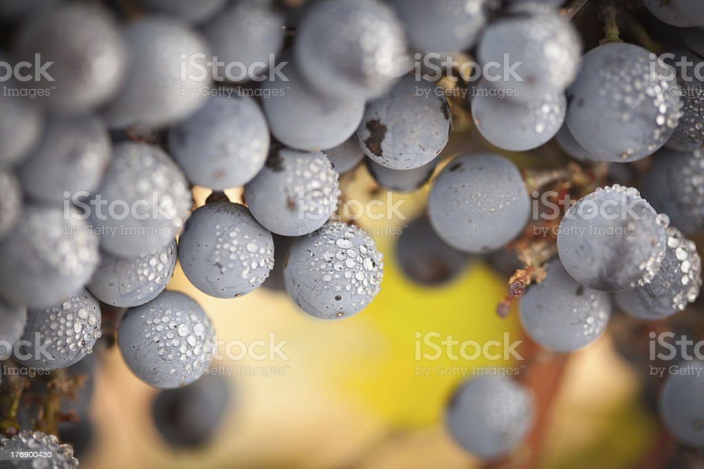 Lush, Ripe Wine Grapes with Mist Drops on the Vine royalty-free stock photo