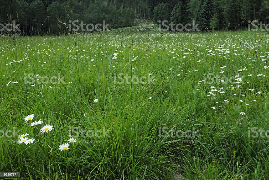 Lush summer meadow in Colorado Rocky Mountains stock photo