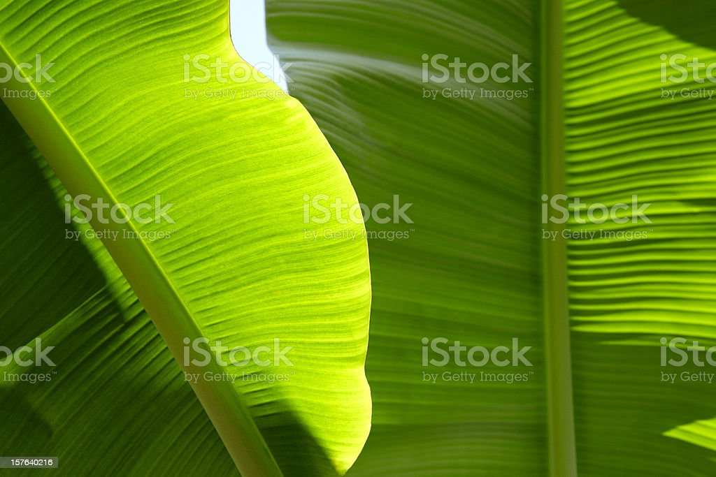 Lushious Banana leaf stock photo