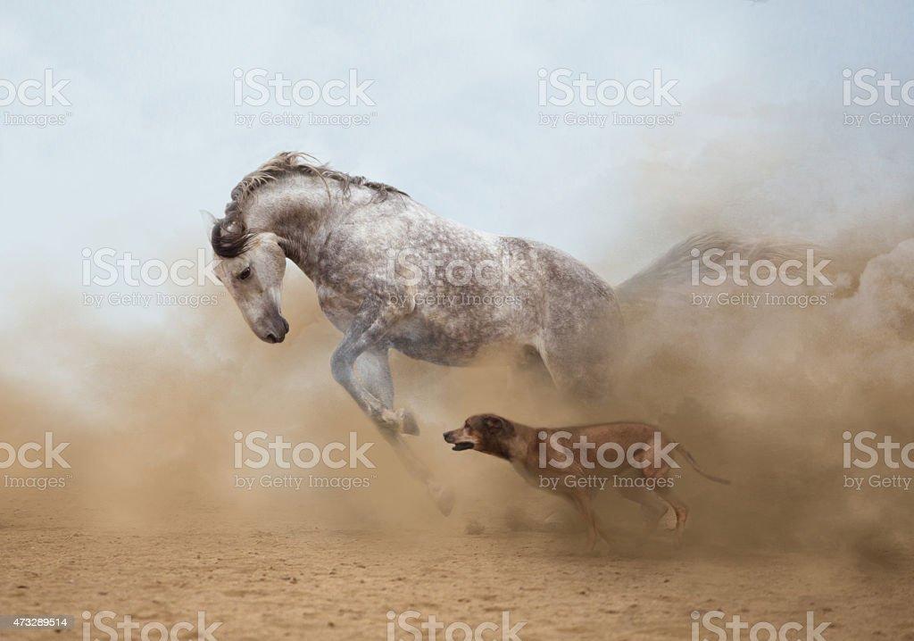 Lusitanian horse stock photo