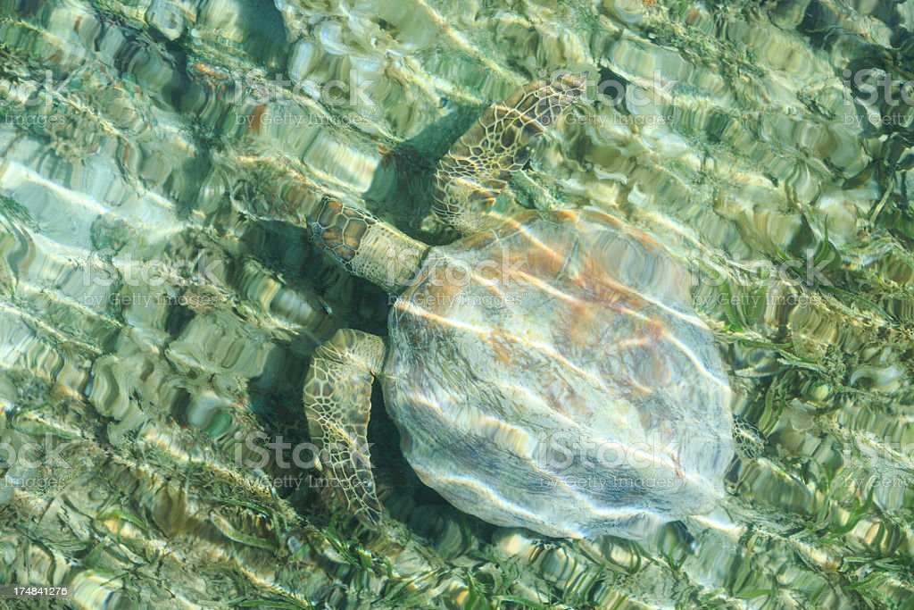 Luth Turtle Swimming Underwater royalty-free stock photo
