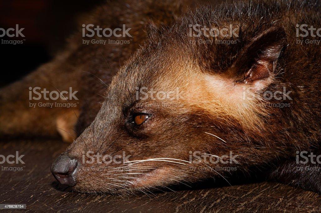 Luwak's Head stock photo