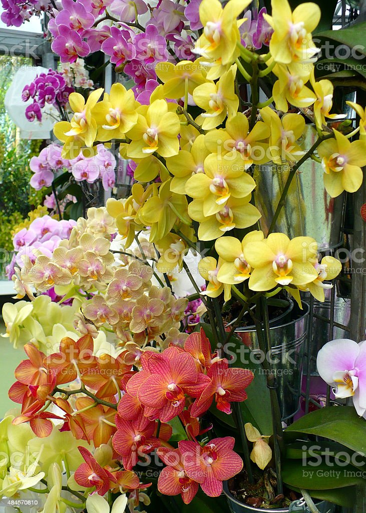 Luxury orchids in a pot with diverse flowers stock photo