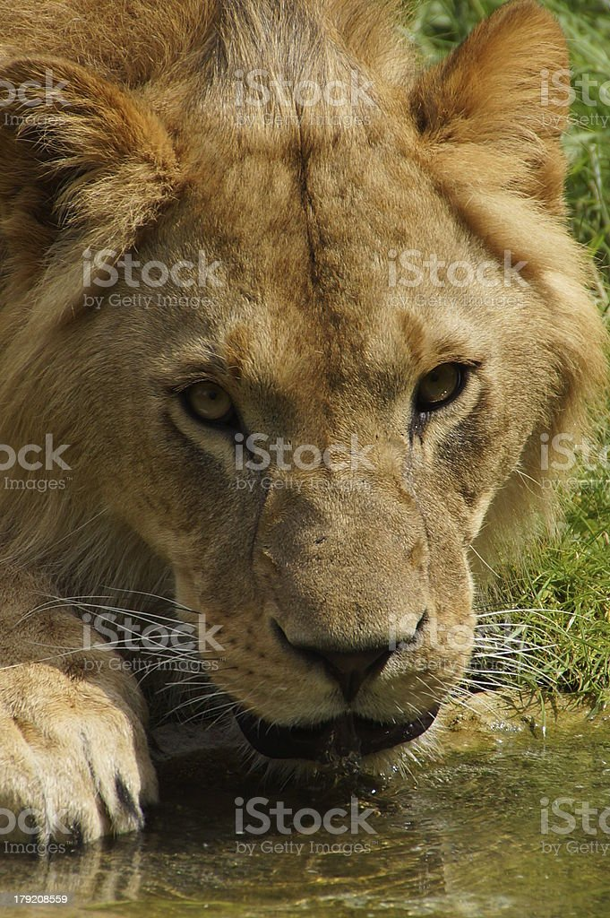 L?we royalty-free stock photo