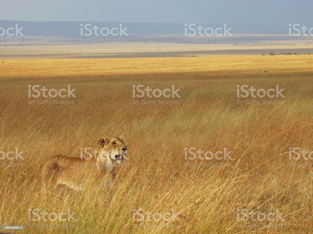 Löwin in der Savanne Kenias stock photo