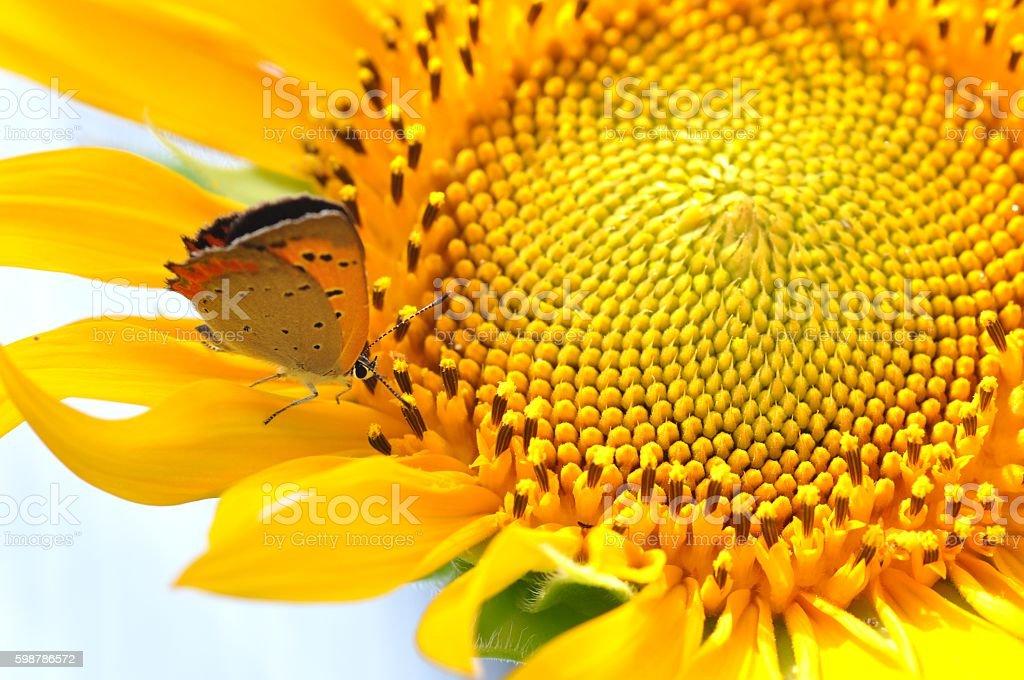 Lycaena phlaeas stock photo